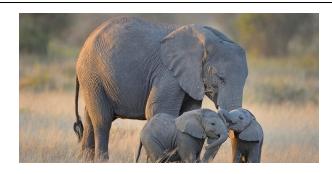 Elefantes, que imensa maldade arrancar-lhes os dentes
